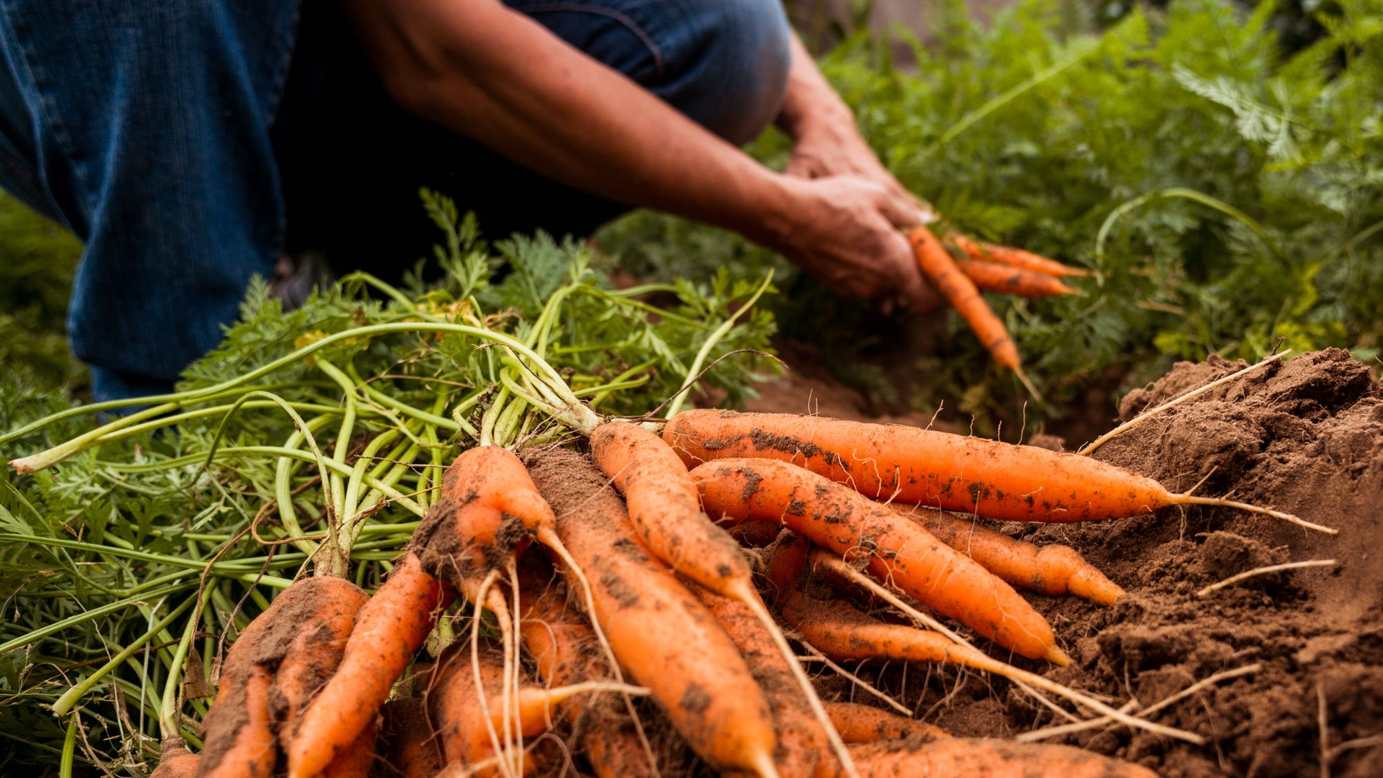 Picking carrots in Sukhbaatar, Mongolia