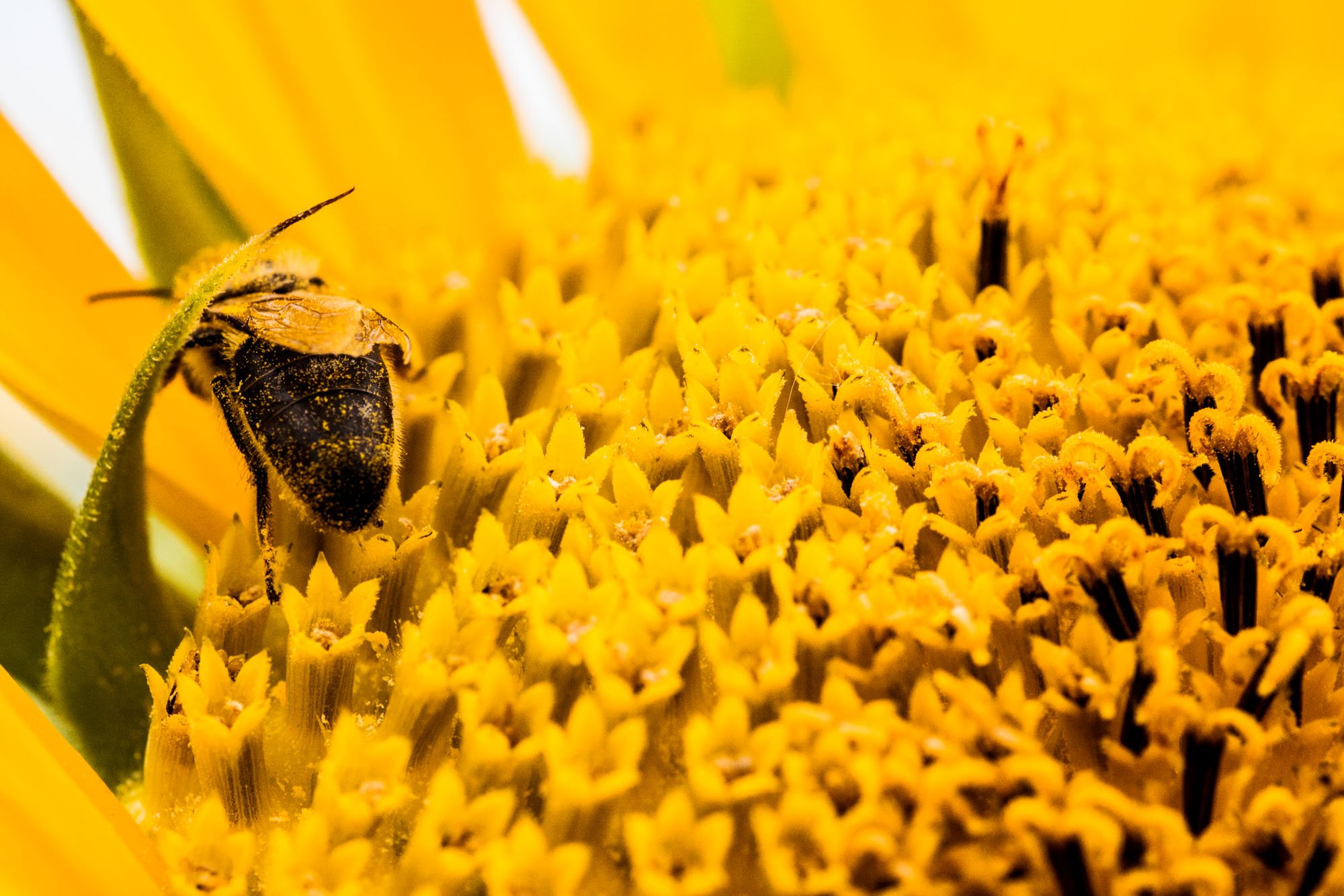 Honey bee on a sunflower in Sukhbaatar, Mongolia